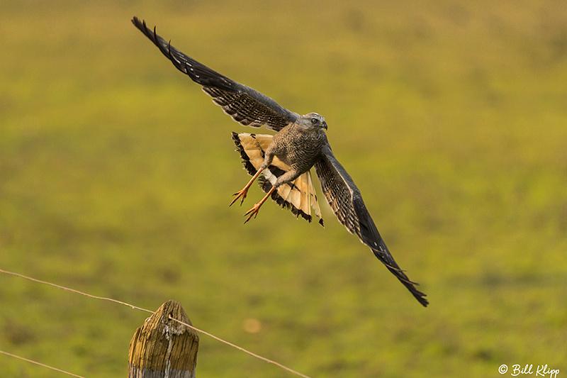Crane Hawk, Pousada Piuval, Pantanal Brazil Photos by Bill Klipp