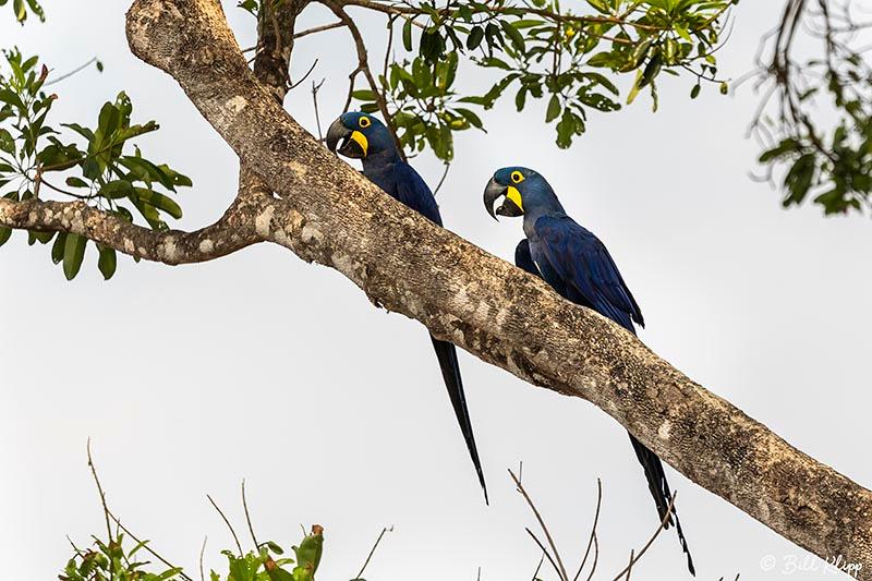 Hyacinth Macaw, Pousada Piuval, Pantanal Brazil Photos by Bill Klipp