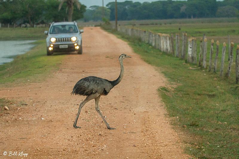 Rhea, Pousada Piuval, Pantanal Brazil Photos by Bill Klipp