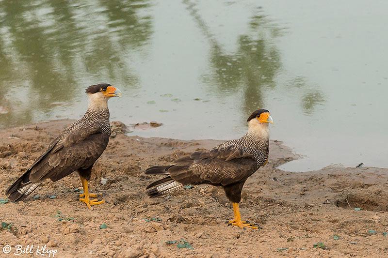 Southern Caracara, Pousada Piuval, Pantanal Brazil Photos by Bill Klipp