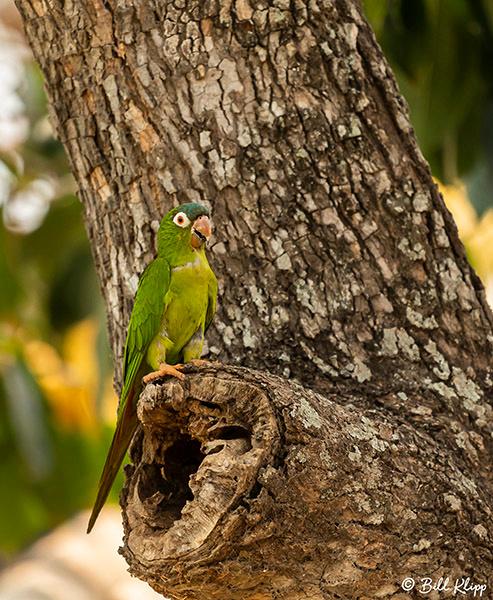 White-Eyed Parakeet, Pousada Piuval, Pantanal Brazil Photos by Bill Klipp