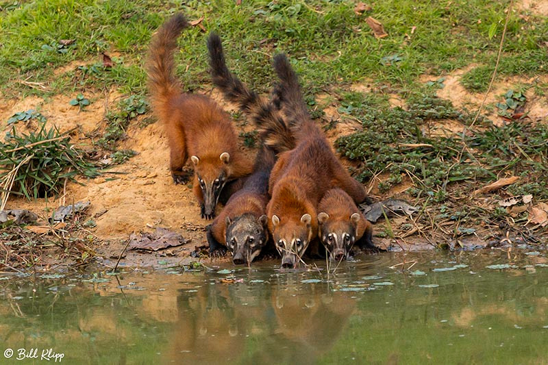 Coati, Pousada Piuval, Pantanal Brazil Photos by Bill Klipp