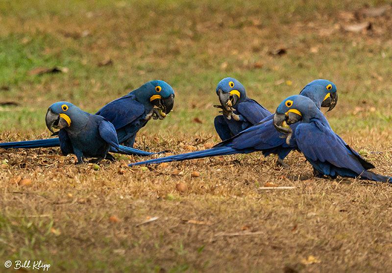 Hyacinth Macaw,Porto Jofre, Pantanal Brazil Photos by Bill Klipp