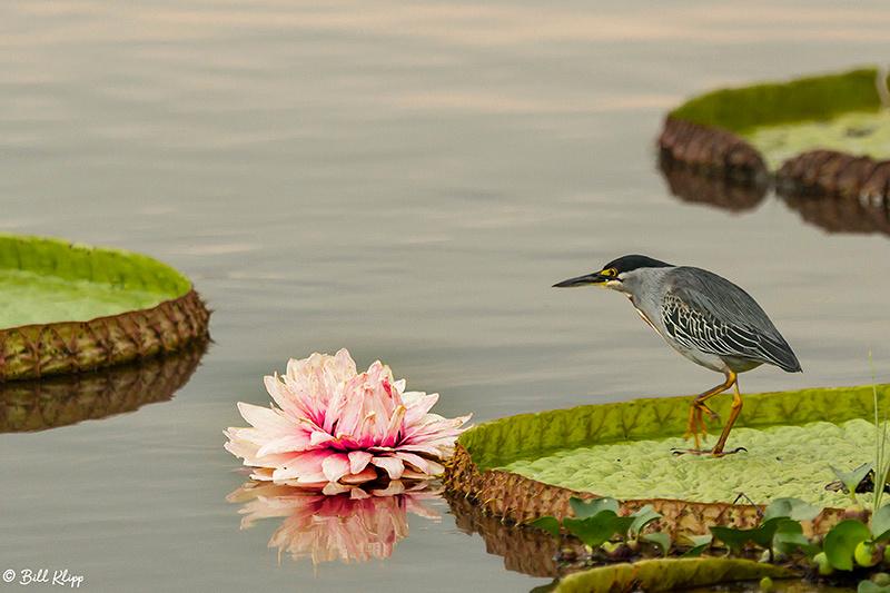 Striated Heron, Porto Jofre, Pantanal Brazil Photos by Bill Klipp