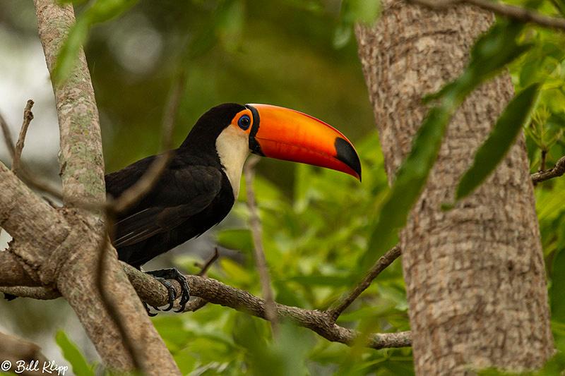 Toco Toucan, Porto Jofre, Pantanal Brazil Photos by Bill Klipp