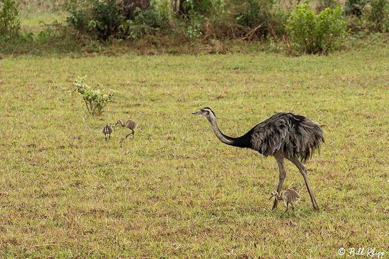 Rhea, Araras Lodge, Pantanal Brazil Photos by Bill Klipp