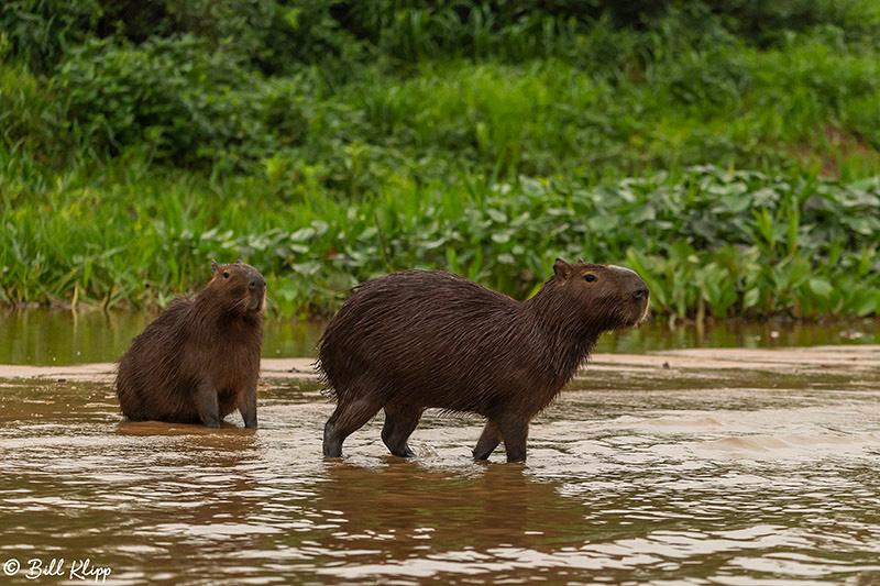 Capybara, Porto Jofre, Pantanal Brazil Photos by Bill Klipp