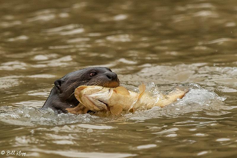 Giant Otters, Porto Jofre, Pantanal Brazil Photos by Bill Klipp