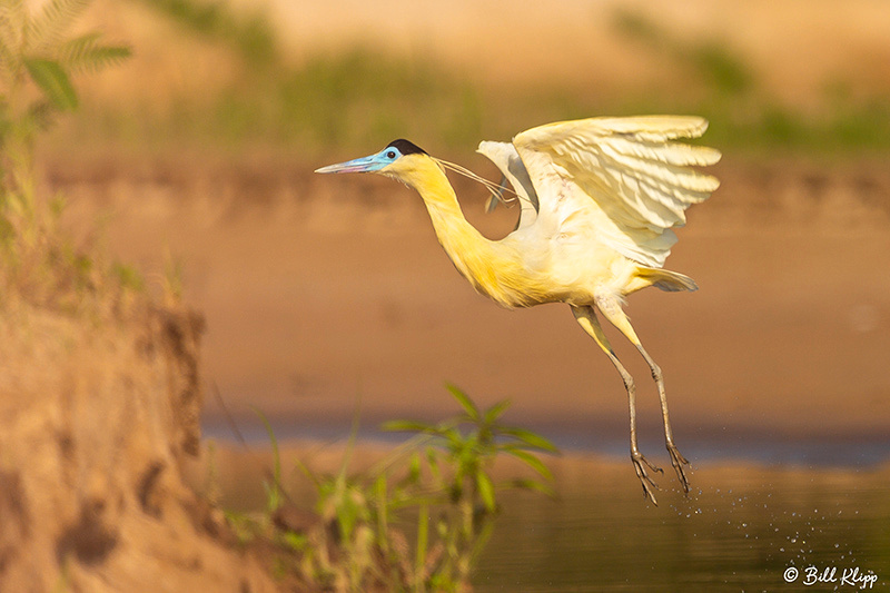 Black-Capped Heron, Porto Jofre, Pantanal Brazil Photos by Bill Klipp