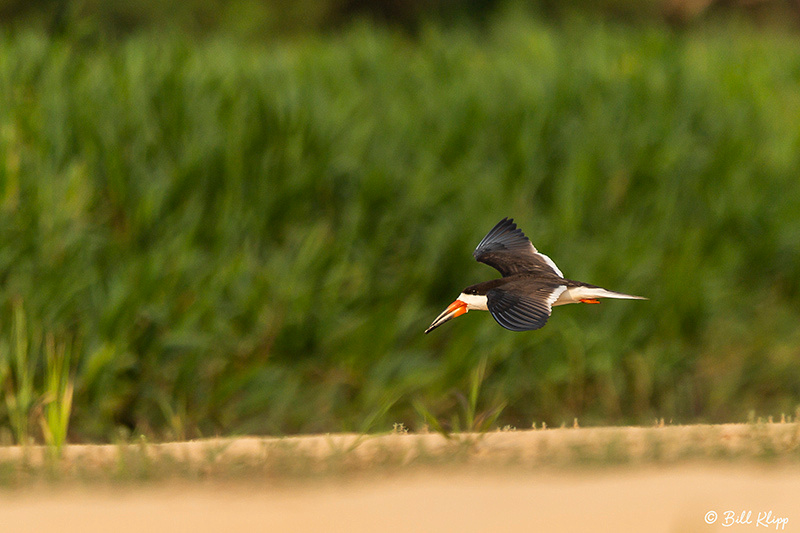 Black Skimmer, Porto Jofre, Pantanal Brazil Photos by Bill Klipp