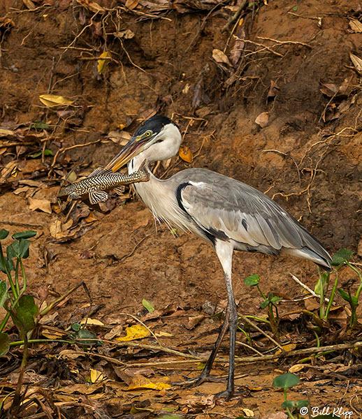 Cocoi Heron, Porto Jofre, Pantanal Brazil Photos by Bill Klipp
