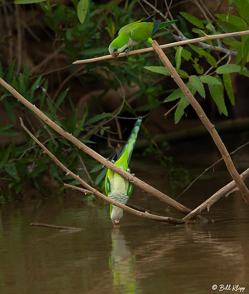 Monk Parakeets, Porto Jofre, Pantanal Brazil Photos by Bill Klipp
