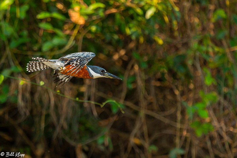 Ringed Kingfisher, Porto Jofre, Pantanal Brazil Photos by Bill Klipp