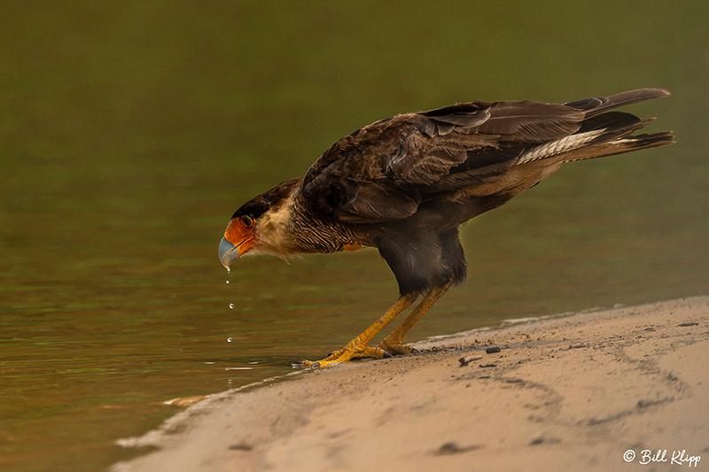 Southern Caracara, Porto Jofre, Pantanal Brazil Photos by Bill Klipp