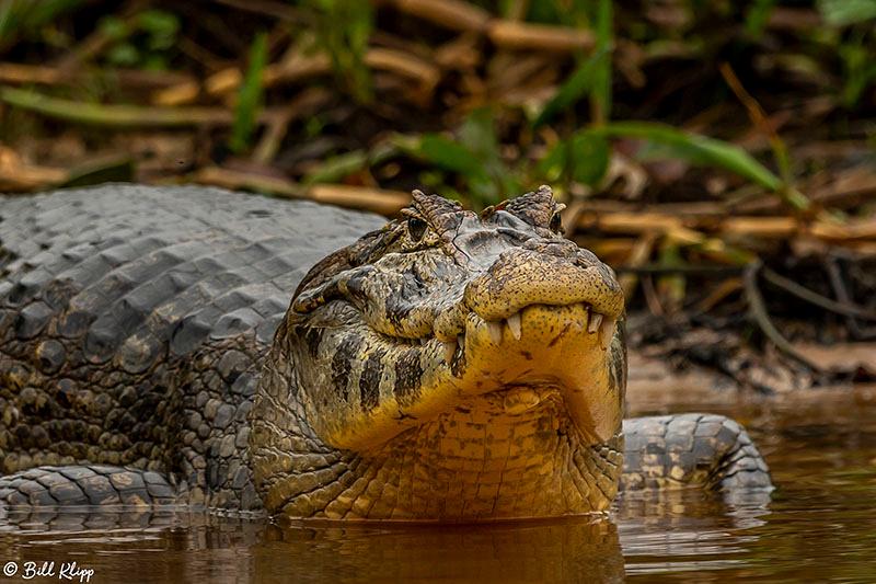 Vacare Caiman, Porto Jofre, Pantanal Brazil Photos by Bill Klipp