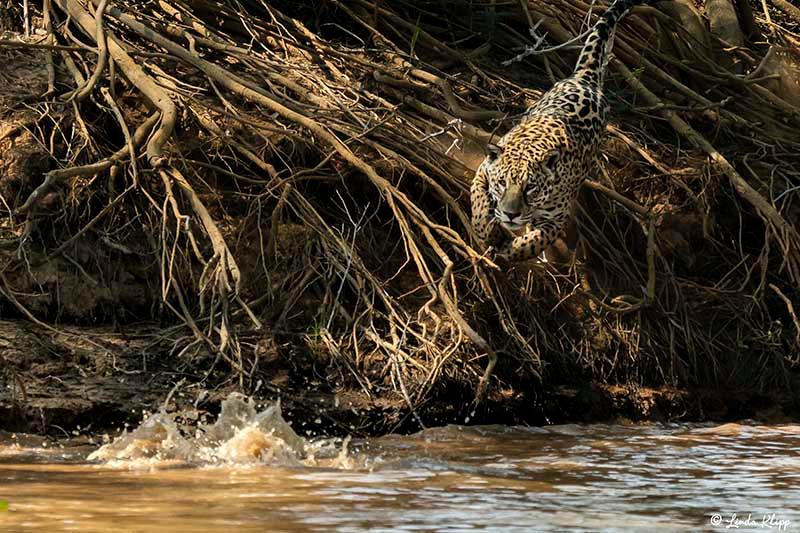 Pantanal photos by Linda Klipp,