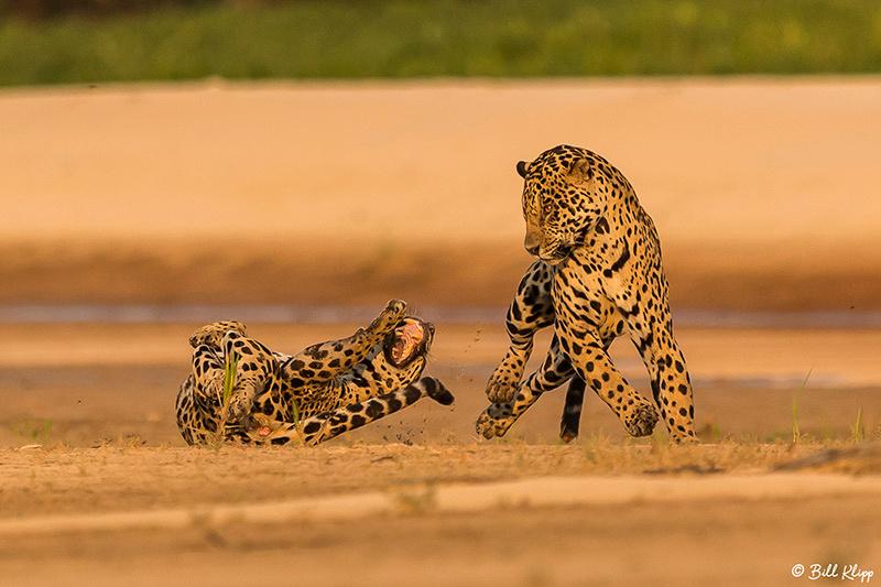 Jaguar, Porto Jofre, Pantanal Brazil Photos by Bill Klipp