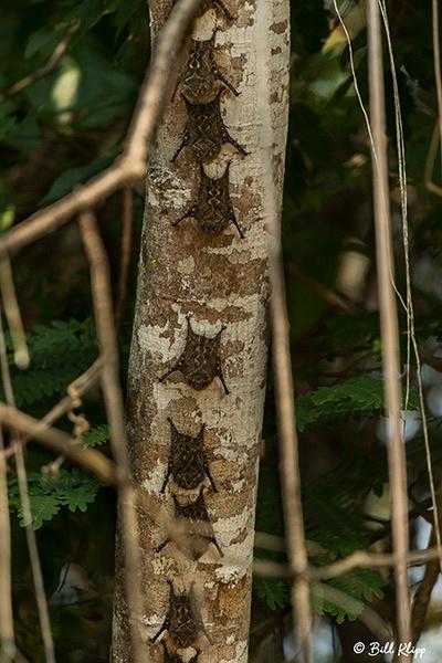 Proboscis Bats or Long Nosed Bats, Porto Jofre, Pantanal Brazil Photos by Bill Klipp