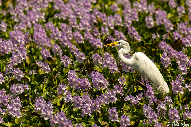 Great Egret in Hyacinth pond, Araras Lodge, Pantanal Brazil Photos by Bill Klipp