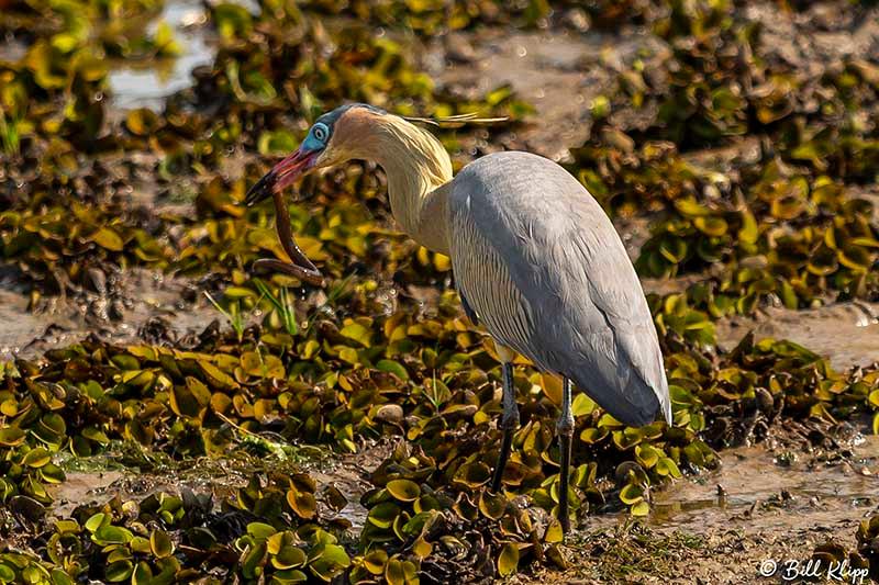 Whistling Heron, Araras Lodge, Pantanal Brazil Photos by Bill Klipp