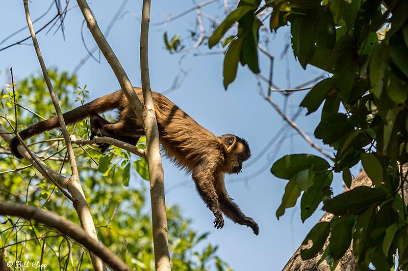Hooded Capuchin Monkey, Araras Lodge, Pantanal Brazil Photos by Bill Klipp