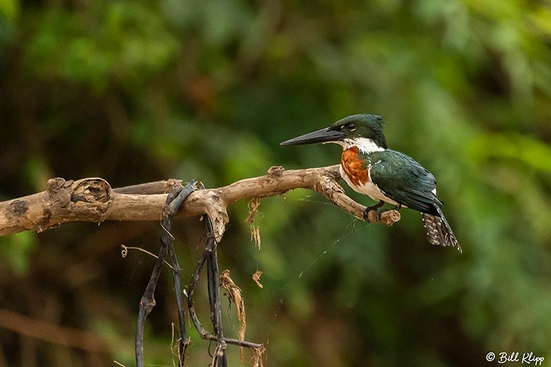Green Kingfisher, Porto Jofre, Pantanal Brazil Photos by Bill Klipp