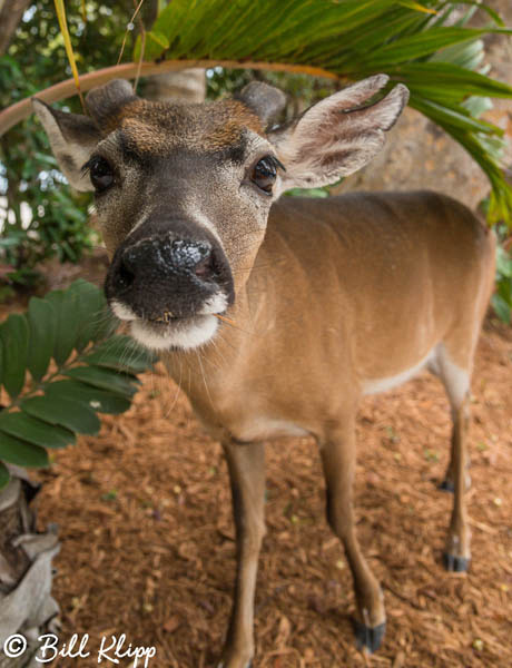 Key Deer Little Palm Island Photos by Bill Klipp