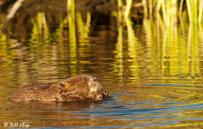 Beaver Photos by Bill Klipp ,  Indian Slough