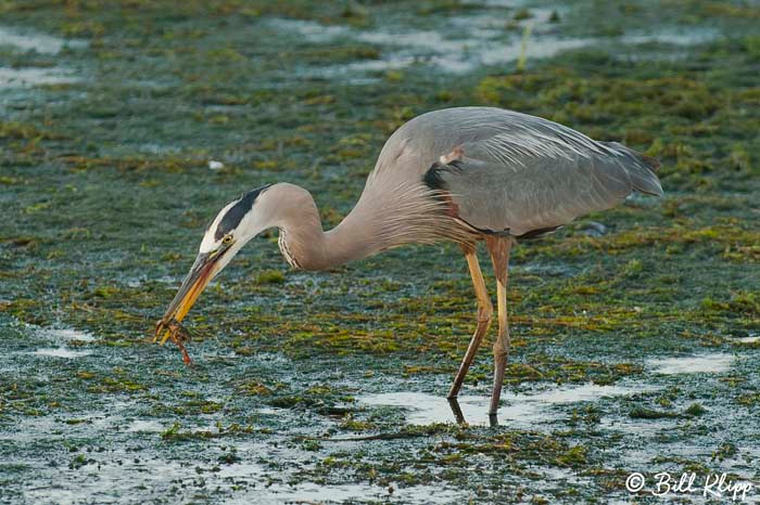 Great Blue Heron Photos by Bill Klipp