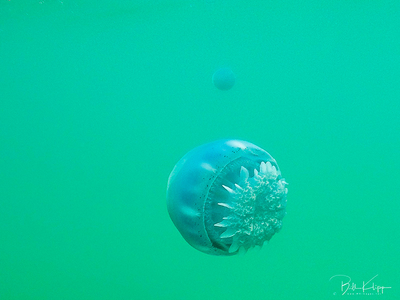 Canon Jellyfish, La Paz Bay, Baja Photos by Bill Klipp