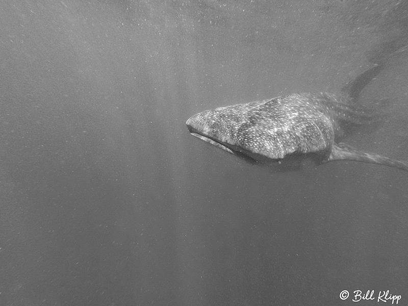 Whale Sharks, La Paz Bay, Baja Photos by Bill Klipp