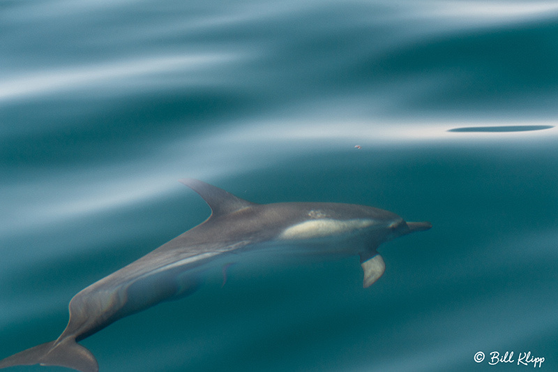 Common Dolphins, Sea of Cortez, Baja Photos by Bill Klipp