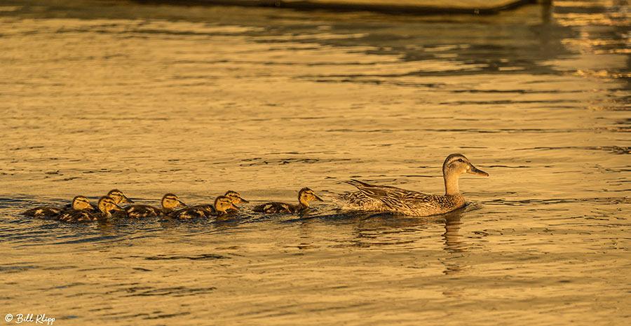 Mallard Ducks Discovery Bay Photos by Bill Klipp