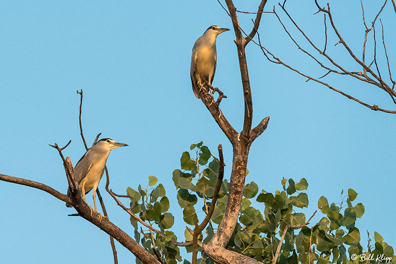 Black Crowned Night Herons, Discovery Bay Photos by Bill Klipp