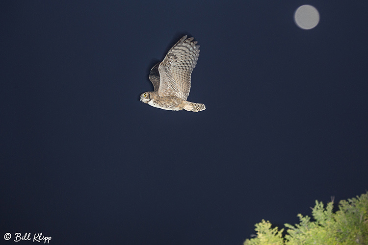 Great Horned Owl, Discovery Bay Photos by Bill Klipp