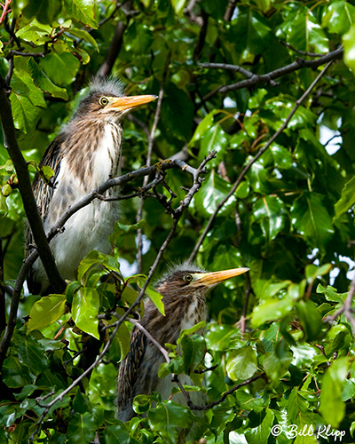 Green Heron Photos by Bill Klipp