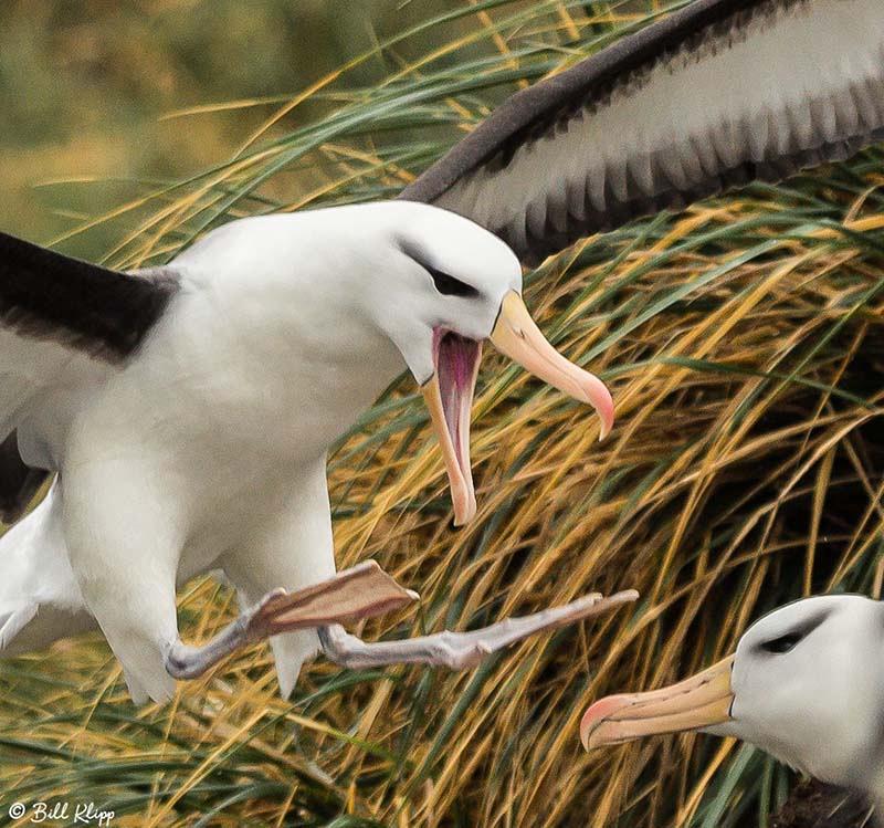 Black Browed Albatross, Carcass Island, West Falkland Islands, P