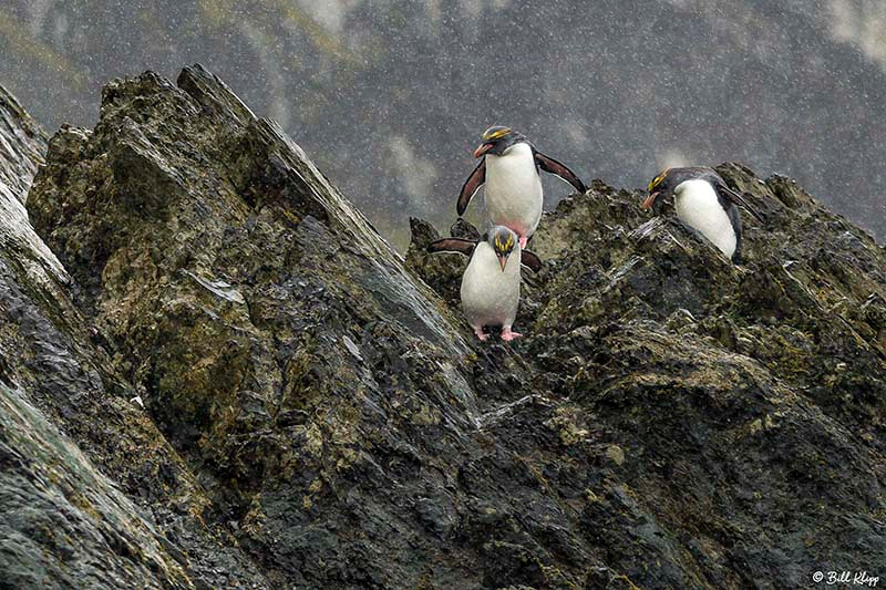 Macaroni Penguins, Elsehul Bay, south Georgia Island Photos by B