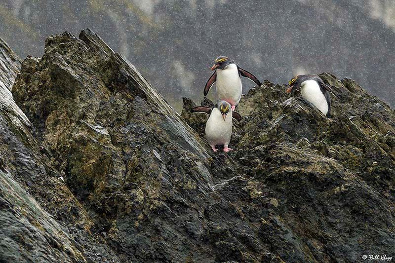 Macaroni Penguins, Elsehul Bay, south Georgia Island Photos by B