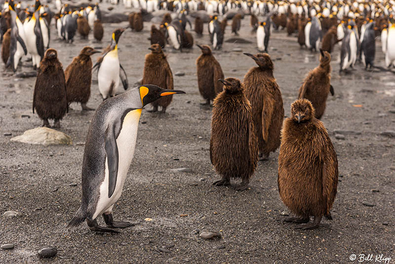 King Penguins, Gold Harbor, South Georgia Island Photos by Bill