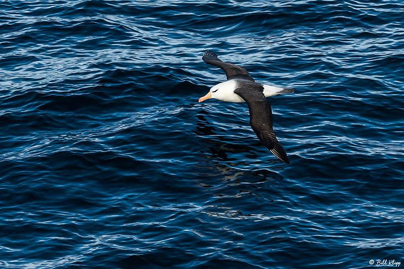 Black Browed Albatross, Hercules Bay, South Georgia Island Photo