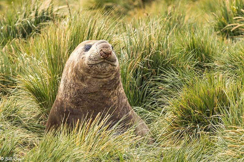 Southern Elephant Seal, Godthul Harbour, South Georgia Island No