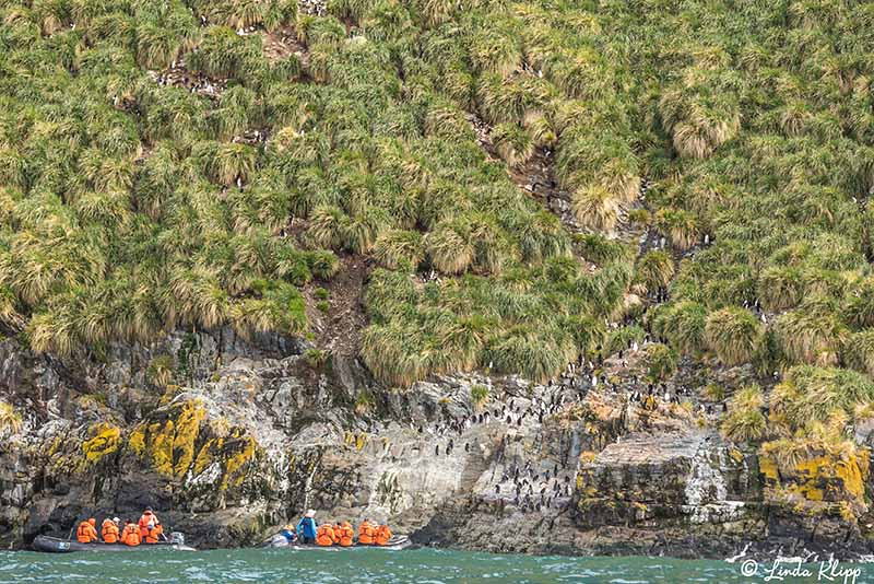Elsehul, Albatross, King Penguin Colony Right Whale Bay, South G