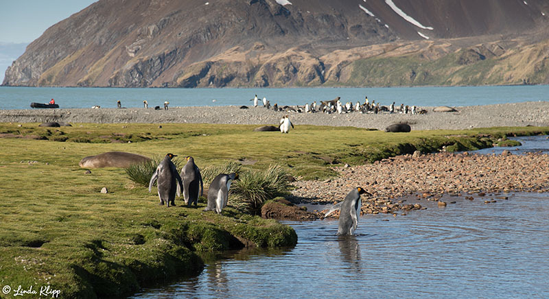 King Penguin Colony, Fortuna Bay, South Georgia Islands,  Photos