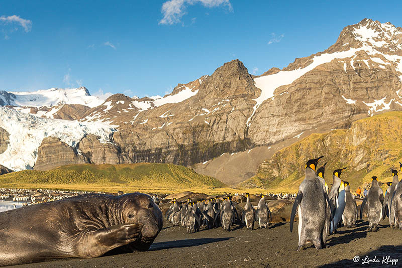 King Penguin Colony, Gold Harbour, South Georgia Islands,  Photo