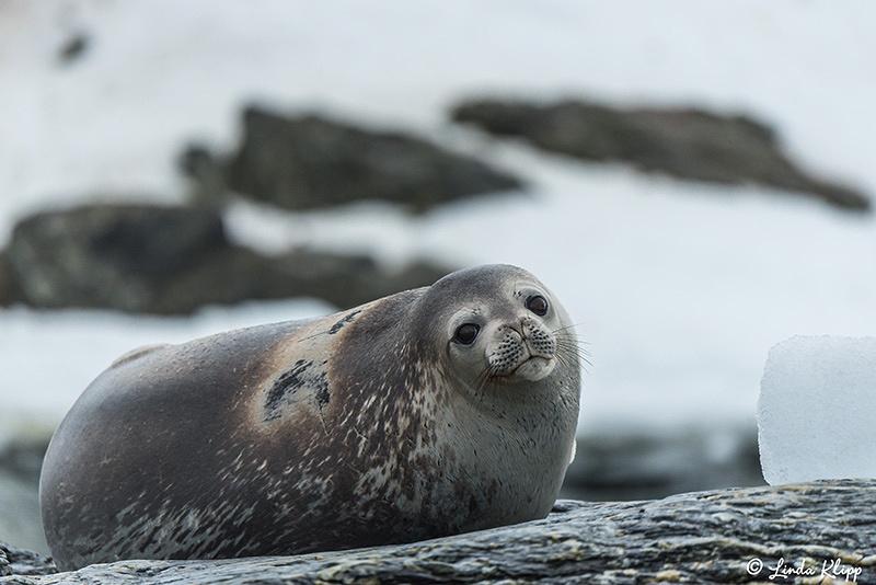 Coronation Island, South Orkney Islands,  Photos by Linda Klipp