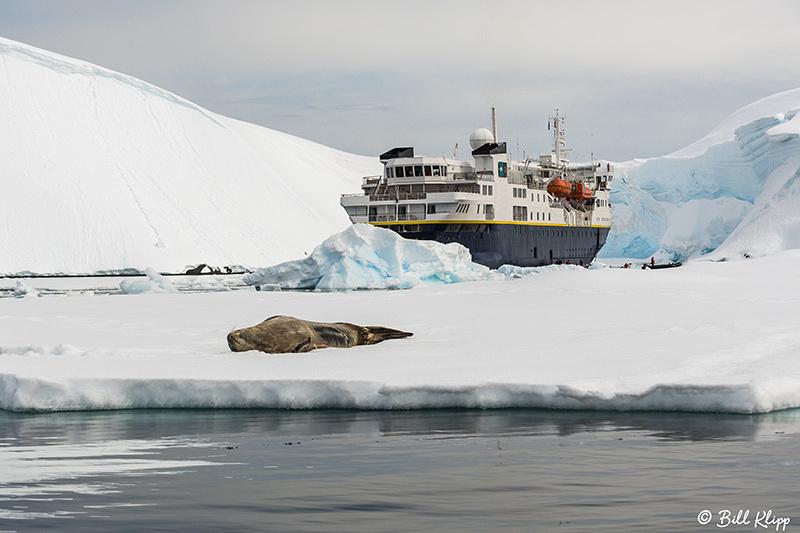Weddell Seals, Enterprise Islands, Gerlache Strait, Antarctica, Nov 2017, Photos by Bill Klipp