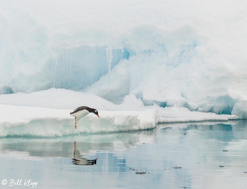 Gentoo Penguin, Wilhelmina Bay, Gerlache Strait, Antarctica, Nov