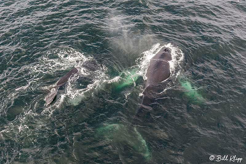 Humpback Whales, Gerlache Straits, South Shetland Islands, Antar