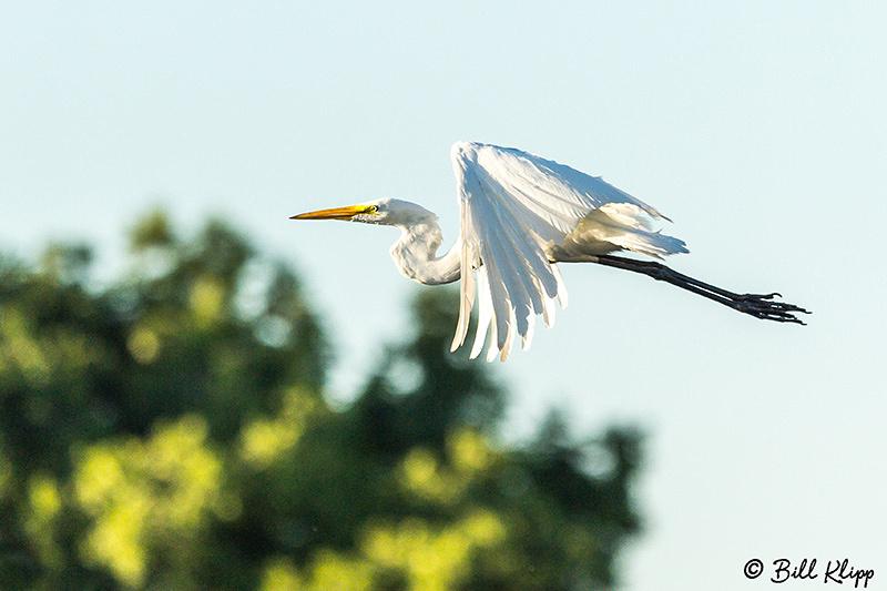 Great Egrets, Discovery Bay Photos by Bill Klipp